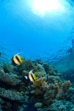 Reef fish on coral. Reef fish couple on coral Stock Image