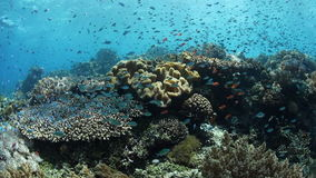 Reef Fish and Corals in Indonesia. A vibrant coral reef, surrounded by damselfish and other species, thrives in Alor, Indonesia. This part of the world harbors stock footage