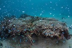 Reef Fish and Corals Stock Image