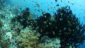 Reef Fish and Corals in Tropical Pacific stock video footage
