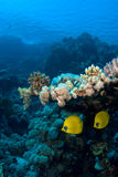 Reef Fish Couple Under Coral Royalty Free Stock Photography