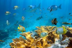 Reef with fish and Elkhorn coral. Reef with school of tropical fish and Elkhorn coral, Caribbean sea royalty free stock image