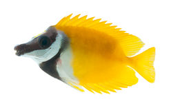 Reef fish, foxface tabbitfish, isolated on white b Royalty Free Stock Photography