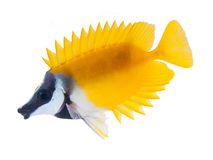 Reef fish, foxface tabbitfish, isolated on white b Royalty Free Stock Images