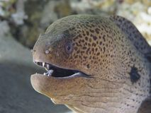 Reef fish Giant moray Stock Image