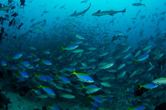 Reef Fish in Huge Numbers Royalty Free Stock Photography
