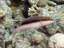 Reef fish Lyretail grouper Royalty Free Stock Photos