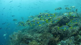 Reef Fish Schooling Over Reef in Raja Ampat. Fish and corals thrive over a healthy reef in Raja Ampat, Indonesia. This tropical region is known for its stock video