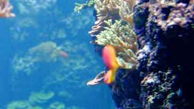 Reef fish swim peacefully among corals. In background of sea anemones stock video