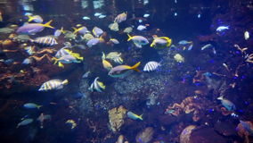Reef fish swim peacefully among the corals in the background and soft corals. Reef fish swim peacefully among the corals in background and soft corals stock video footage