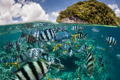 Reef Fish and Tropical Island. Colorful reef fish school in a lagoon surrounded by rock islands in Palau. Palau is known for its beautiful coral reefs and world Royalty Free Stock Photos