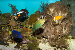 Reef Fishes in Aquarium Stock Photo