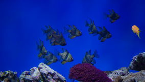 Reef fishes got scared stock video footage