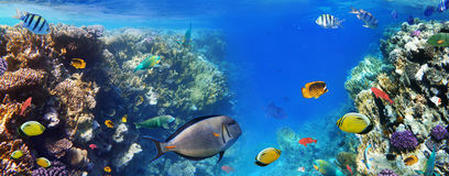 Reef fishes of the Red Sea. Stock Photography