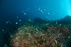 Reef fishes are swimming above the coral reefs in Gorontalo, Indonesia. There are a few kind of reef fish swimming above the various coral reefs. that makes such stock photo