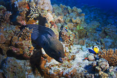 Reef with giant grey moray eel and fishes. Deep underwater coral reef with giant grey moray eel and fishes stock images