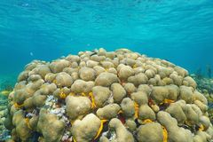 Reef with Great star coral Montastraea cavernosa Royalty Free Stock Photo