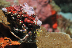 Reef hermit crab Royalty Free Stock Images