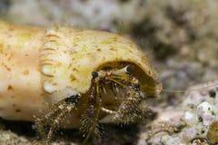 Reef hermit crab Stock Photo