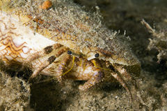 Reef hermit crab Royalty Free Stock Photography