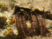Reef Hermit Crab(Dardanus lagopodes) Stock Photo