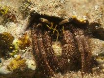 Reef Hermit Crab(Dardanus lagopodes) Stock Photo