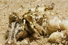 Reef Hermit Crab(Dardanus lagopodes) Royalty Free Stock Photo