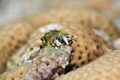Reef hermit crab (dardanus lagopodes) Stock Images