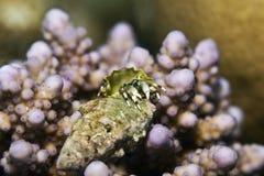 Reef hermit crab (dardanus lagopodes) Stock Image