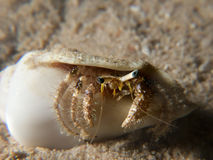 Reef hermit crab Royalty Free Stock Image