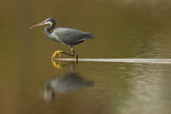 Reef Heron Stock Photos