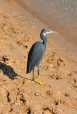 Reef heron, Egretta gularis Royalty Free Stock Images