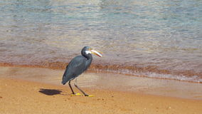 The Reef Heron Hunts for Fish on the Beach of the Red Sea in Egypt stock footage