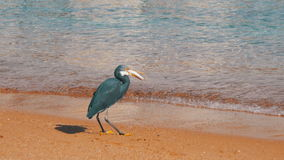 The Reef Heron Hunts for Fish on the Beach of the Red Sea in Egypt stock video footage