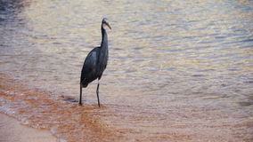 The Reef Heron Hunts for Fish on the Beach of the Red Sea in Egypt. Slow Motion. In 96 fps. Grey heron with yellow paws walking on the waves of the surf and wet stock footage