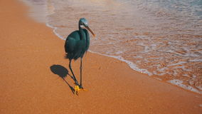 The Reef Heron Hunts for Fish on the Beach of the Red Sea in Egypt. Slow Motion stock footage