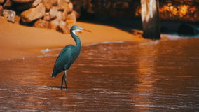 The Reef Heron Hunts for Fish on the Beach of the Red Sea in Egypt. Slow Motion stock video