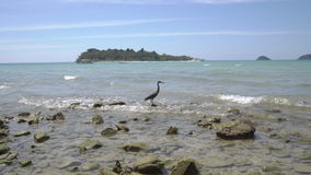 Reef Heron on the island of Koh Chang in Thailand. stock video footage