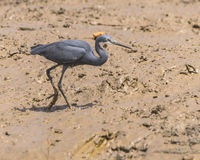 Reef Heron Stock Images