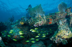 Reef Legde with fish aggregation Stock Photography