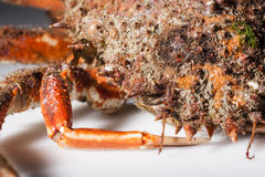 Reef with legs, claw, camouflage, imitation, mimicry, spine, ora. Legs close up with front shell of European spider crab (Maja Squinado) in studio with macro Royalty Free Stock Photo