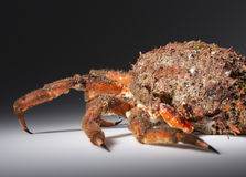 Reef with legs, claw, camouflage, imitation, mimicry, spine, ora. Shellfish reef. Legs and shell close up of European spider crab (Maja Squinado) in studio with Royalty Free Stock Photo