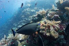 Reef Life. Many different coloured fish in Indonesia Stock Images