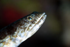 Reef lizardfish close-up. Stock Image