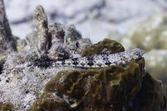 Reef lizardfish (Synodus variegatus) Royalty Free Stock Images