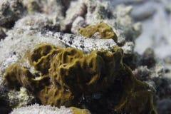 Reef lizardfish (Synodus variegatus) Royalty Free Stock Image