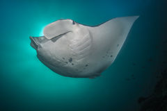 Reef Manta Ray. Manta alfredi on the Great Barrier Reef Stock Photography