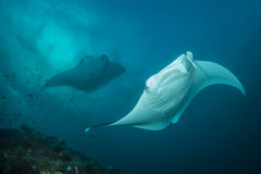 Reef Manta Ray. Manta alfredi on the Great Barrier Reef Royalty Free Stock Photography