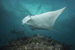 Reef Manta Ray. Manta alfredi on the Great Barrier Reef Stock Image