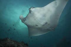 Reef Manta Ray. Manta alfredi on the Great Barrier Reef Royalty Free Stock Photos